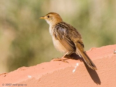 083_Levaillants_Cisticola__3__640x480_copy.jpg