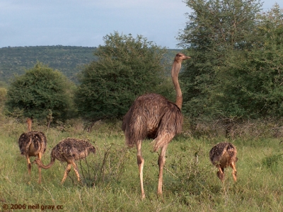 601_female_Common_Ostrich_with_young_640x480_copy.jpg
