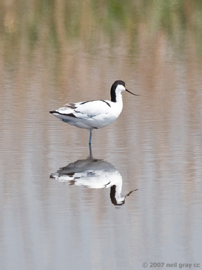 Avocet_reflection.jpg