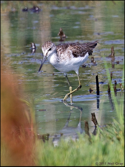 Marsh_Sandpiper.jpg