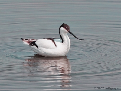 Pied_Avocet_copy.jpg