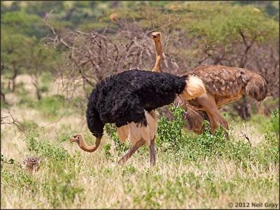 Somali_Ostrich.jpg