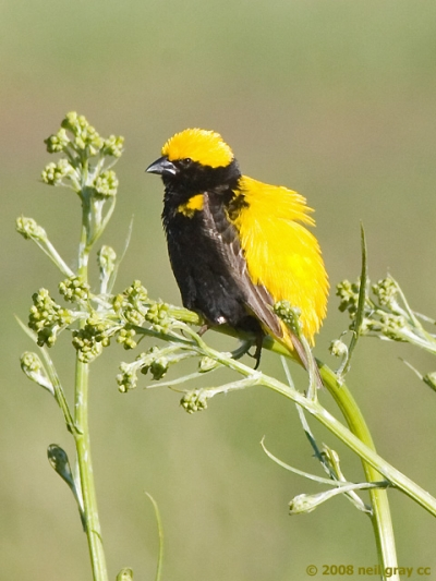 breeding_male_Yellow-crowned_Bishop_640x480_copy.jpg