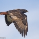 Jackal Buzzard in flight.