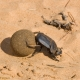 Dung beetle rolling ball of dung; possibly a Large Copper Dung Beetle; Molopo Nature Reserve, Northern Cape.