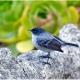 "<p>Sub-species<em> grisea</em> ---<span style=""font-size: 12.16px;"">Location :Sueños del Bosque, Dota Valley, San Jose province, Costa Rica</span></p>"