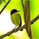 "<p>Sub-species<em>wetmorei</em> ---<span style=""font-size: 12.16px;"">Location : Esquinas Rainforest Lodge</span><span style=""font-size: 12.16px;"">, Golfito district, Puntarenas province, Costa Rica</span></p>"
