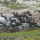 Flock with single immature African Sacred Ibis; Olifantsbos, north of Cape Point.