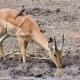 <p>Juvenile male ---- Location : Maloutswa Pan, Mapungubwe National Park, Limpopo, South Africa</p>