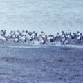 """<p>Scanned from slide taken May 1976, about 60 birds from a flock of several hundred ----<span style=""""font-size: 12.16px; line-height: 1.3em;"""">Location : Lochinvar National Park, Southern Province, Zambia</span></p>"""
