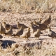 """<p><span style=""""line-height: 1.3em;"""">Location : Kgalagadi Transfrontier Park, Northern Cape, South Africa</span></p>"""