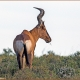 Adult ---- Location : Karoo National Park, Beaufort West, Western Cape, South Africa