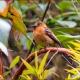 "<p>Sub-species <em>pyrrhopterus ---- </em><span style=""font-size: 12.16px; line-height: 1.3em;"">Location : Guango Lodge, near Papallacta, Napo province, Ecuador</span></p>"