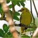 """<p>Juvenile, sub-species<em style=""""font-size: 12.16px;"""">maculatus</em><span style=""""font-size: 12.16px;""""> .... Location : Kranji Marshes, Singapore</span></p>"""