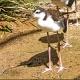 Immature bird ... Location : Newquay Zoo, Cornwall, England