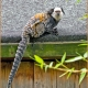 <p>a.k.a 'Geoffroy's Marmoset' ... Location : Newquay Zoo, Cornwall, England</p>