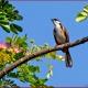 <p>Sub-species <em>pattani </em>.... Location : Jurong Bird Park, Singapore</p>
