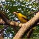 <p>Sub-species <em>maculatus</em> .... Location : Jurong Bird Park, Singapore</p>