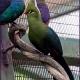 <p>Male .... Location : Royal Ramble, Jurong Bird Park, Singapore</p>
