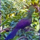 "<p>Sub-species <em>buffoni</em> [""Buffon's Turaco""] ----<span style=""font-size: 12.16px; line-height: 1.3em;"">Location : Birdworld, near Rowledge, Surrey, England</span></p>"
