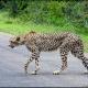 Location : near Crocodile Bridge, Kruger National Park, South Africa