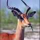 adult male ---- Location : Lebala Camp, Kwando Concession, Linyanti Marshes, northern Botswana