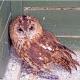 <p>Location : Screech Owl Sanctuary near Indian Queens, Cornwall, England</p>