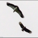 "<p>with Black Vulture [<em>Coragyps atratus</em>] below right ----<span style=""font-size: 12.16px; line-height: 1.3em;"">Location : La Selva Lodge, Sucumbios, Ecuador</span></p>"