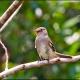 """<p>Sub-species <em>obscuriceps ---- </em><span style=""""font-size: 12.16px; line-height: 1.3em;"""">Location : La Selva Lodge, Sucumbios, Ecuador</span></p>"""
