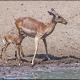 juvenile and female ---- Location : Kumasinga Hide, Mkuze Game Reserve, KwaZulu-Natal, South Africa