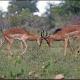 males ---- Location : Nthandanyathi Hide, near Lower Sabie, Kruger National Park, South Africa