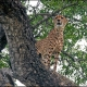 Male --- Location : Voortrekker Road, near Afsaal, Kruger National Park, South Africa
