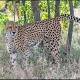 Male --- Location : Randspruit Road, near Crocodile Bridge, Kruger National Park, South Africa