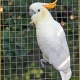"<p>Sub-species <em>citronocristata,</em> ""Citron-crested Cockatoo"" --- Location : Tropical Birdland, Desford, Leicestershire, England</p>"