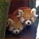 Juveniles ---- Location : Paradise Park, Hayle , Cornwall, England