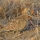 "<p>Sub-species<em>multicolor</em>, female ----<span style=""line-height: 1.3em;"">Location : </span><span style=""line-height: 1.3em;"">near Sirheni, Kruger National Park, South Africa</span></p>"